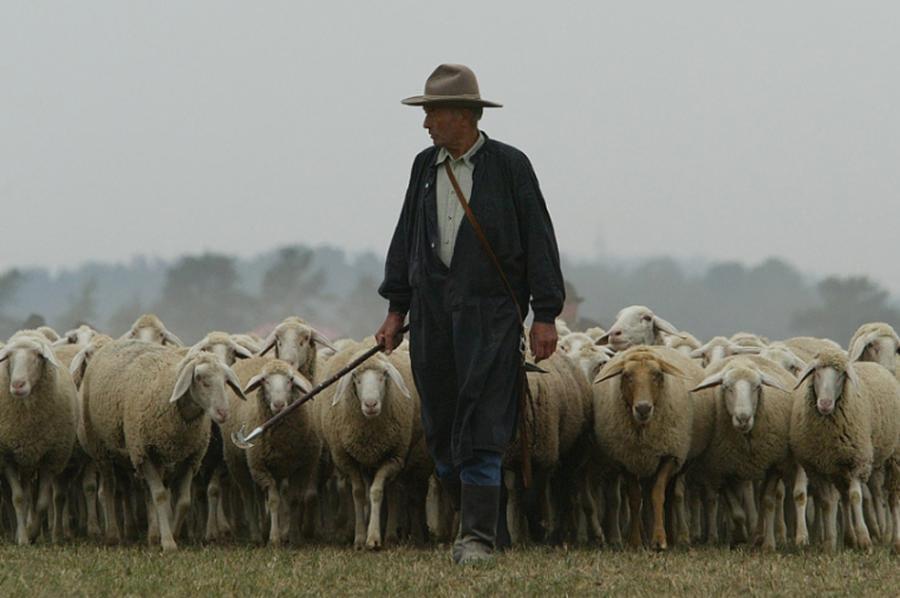 Shepherd Sheep